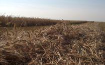 Swanson Rye Harvest 2013